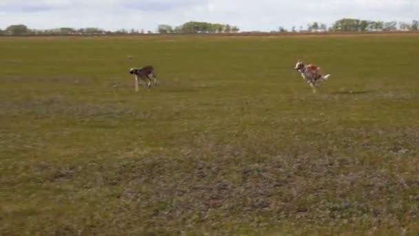 Due levrieri correre attraverso il campo