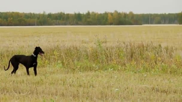 Der schwarze Greyhound sucht den Hasen
