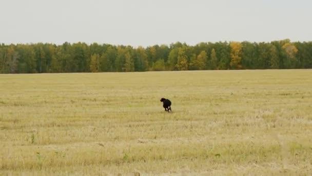 Black Greyhound raggiunge il cane grigio