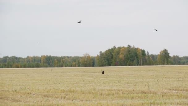 Nero corvo vola sopra il cane levriero