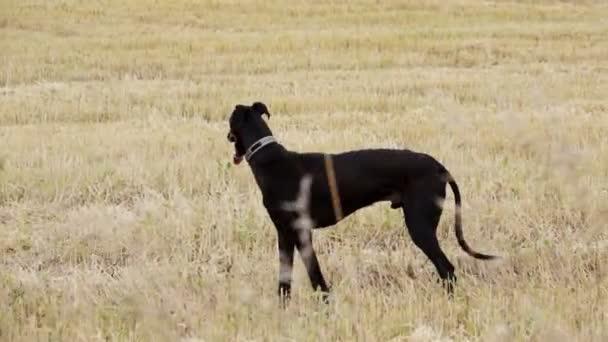 Greyhound nero si leva in piedi nel campo