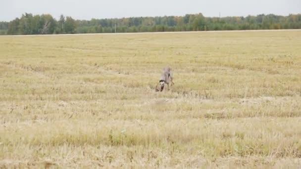 Grigio Greyhound corre alla macchina fotografica