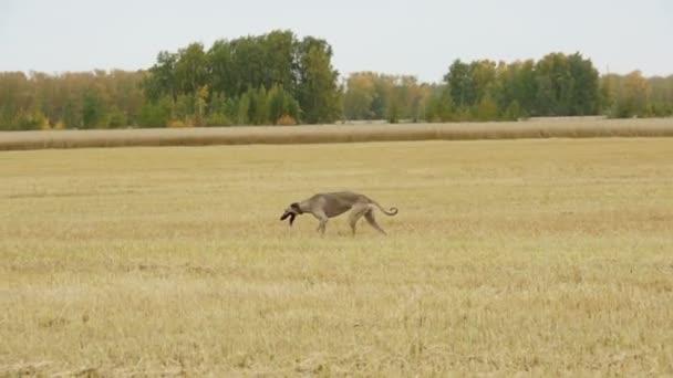 Grigio Greyhound corre attraverso il campo