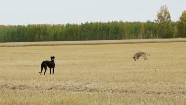 Due Greyhound cammina nel campo