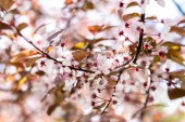 close-up view of beautiful blossoming cherry tree branch, selective focus