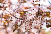Detailní pohled krásné Kvetoucí třešeň větev stromu, Selektivní ostření