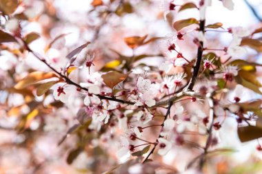 Close-up view of beautiful blossoming cherry tree branch, selective focus stock vector