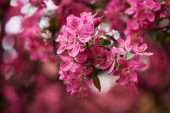 Fotografie close-up view of beautiful pink almond flowers on tree, selective focus