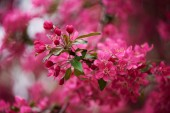 Photo selective focus of beautiful pink almond flowers on tree