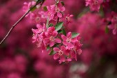 Photo close-up view of beautiful bright pink almond flowers on branch, selective focus