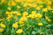 Selektivní fokus krásné zářivě žluté kvetoucí pampelišky
