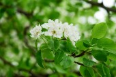 close-up view of tender white flowers blooming at cherry tree