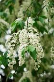 Detailní pohled na krásné Kvetoucí třešeň ptačí strom