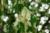 Detailní pohled na krásné Kvetoucí třešeň ptačí strom s něžně bílé květy