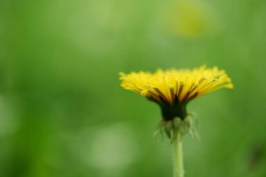 close-up view of single yellow blooming dandelion flower, selective focus