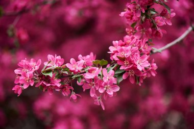 close-up view of beautiful bright pink almond flowers on branch