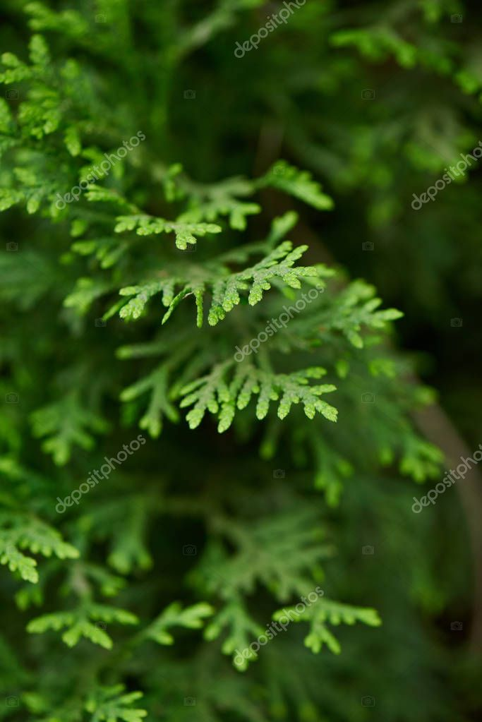 close-up view of beautiful green juniper branches, selective focus