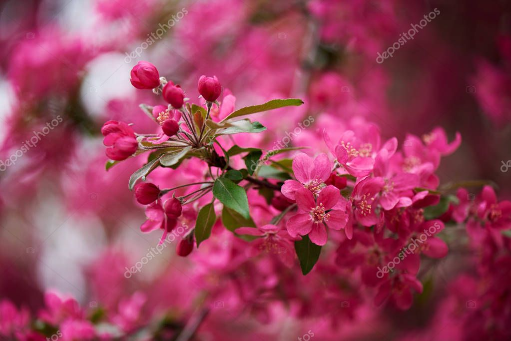 selective focus of beautiful pink almond flowers on tree