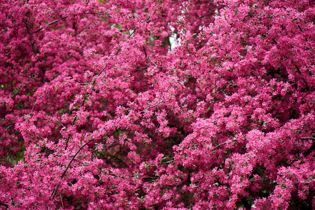 beautiful bright pink almond flowers on branches