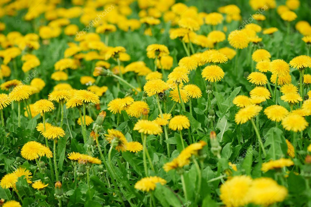 close-up view of beautiful bright yellow blooming dandelions