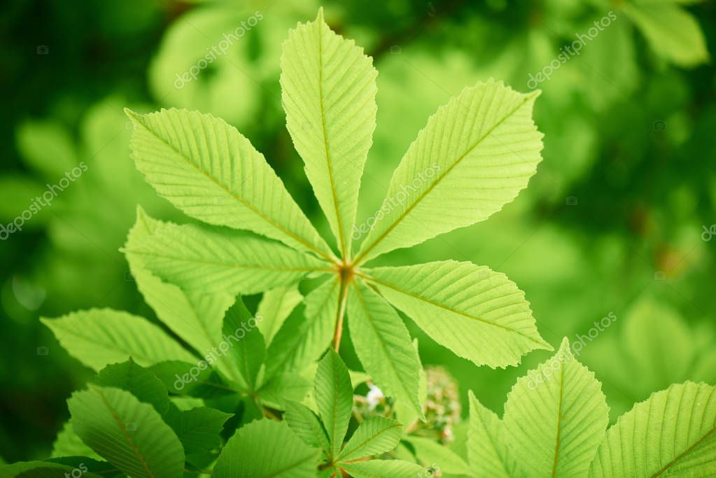 close-up view of beautiful chestnut tree with bright green leaves, selective focus