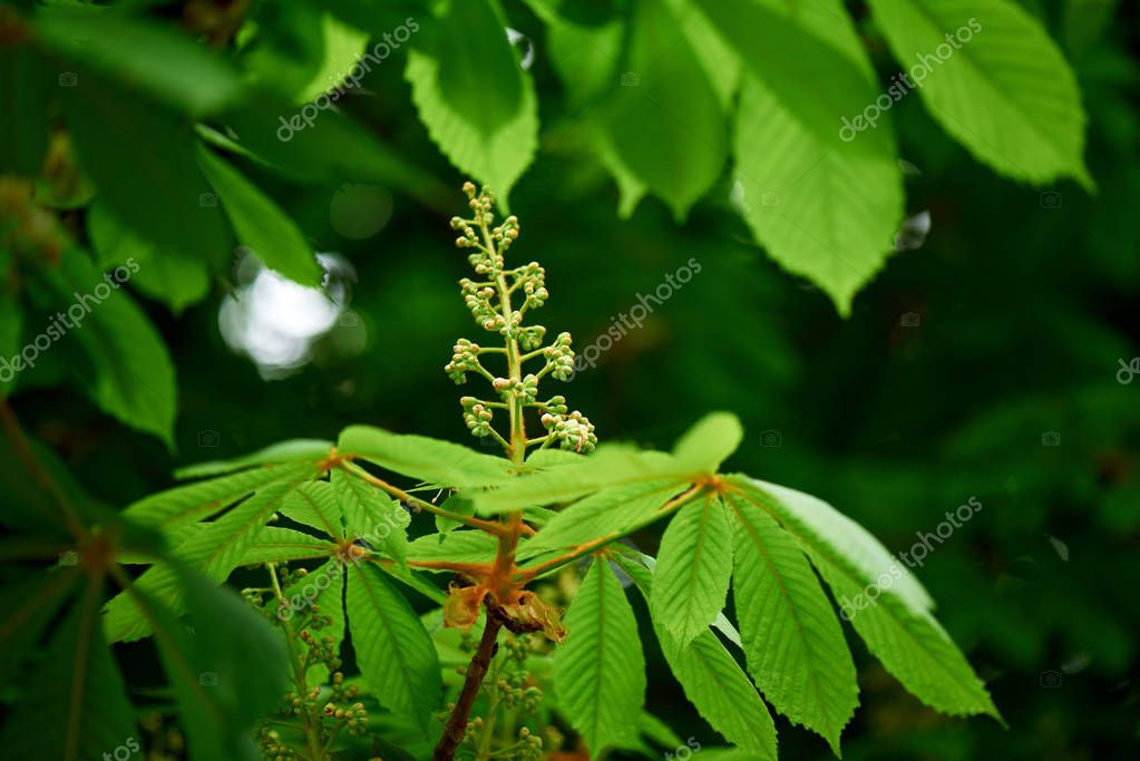 close-up view of beautiful chestnut tree with bright green leaves and buds