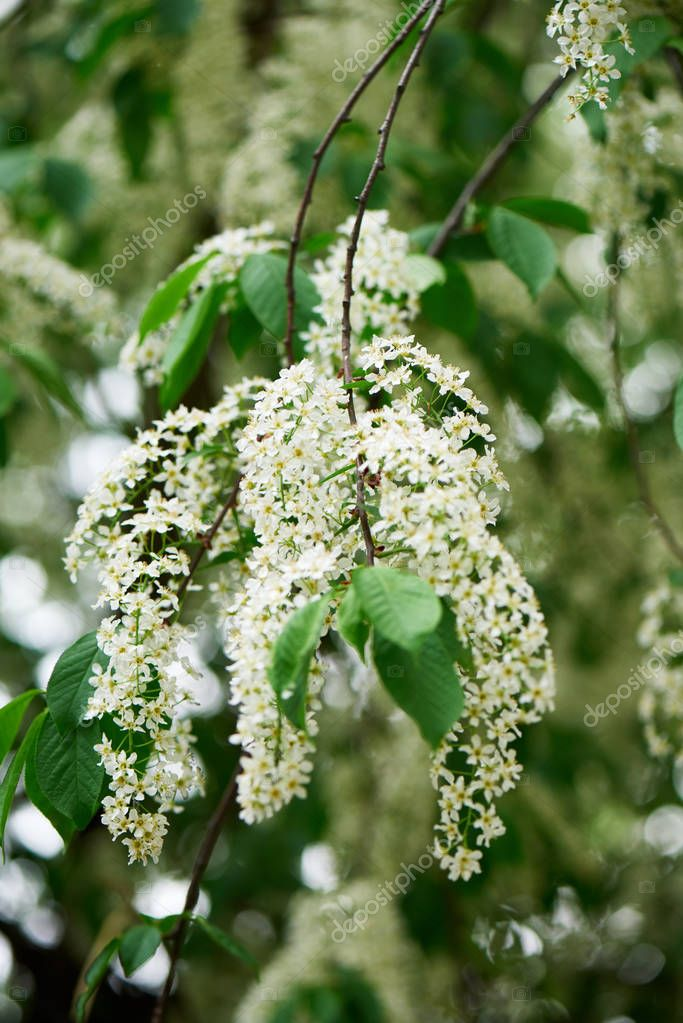 close-up view of beautiful blooming bird cherry tree