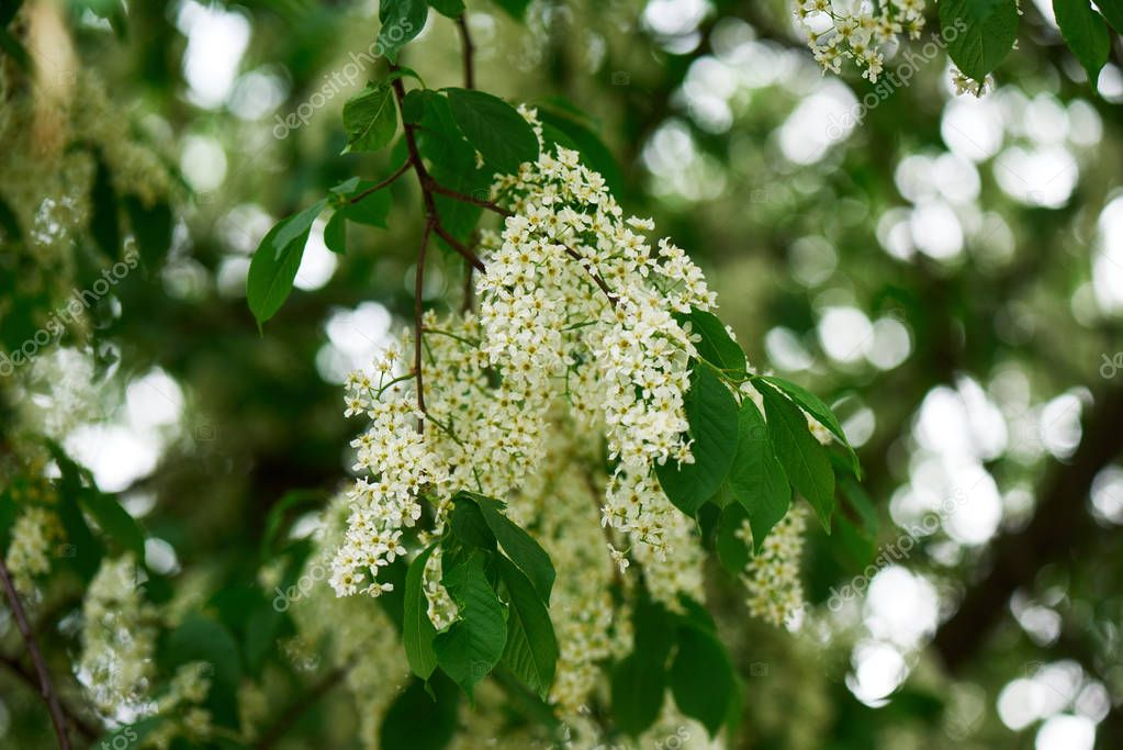 close-up view of beautiful blooming bird cherry tree with tender white flowers