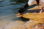 Photo selective focus of duck drinking water from pond