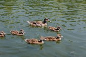 close up view of flock of ducklings with mother duck swimming in water
