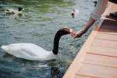 Fotografie cropped image of woman feeding swan while sitting on wooden pier
