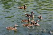 szelektív összpontosít állománynak a kiskacsa anyjával, úszás a tóban