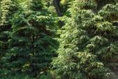 Selektivní fokus borovic v lese