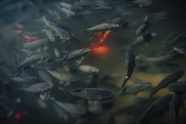 elevated view of large flock of red and black carps swimming in water