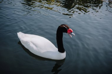 high angle view of beautiful white swan with black neck swimming in pond