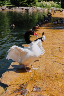 selective focus of swan with straightened wings and ducks on shallow water