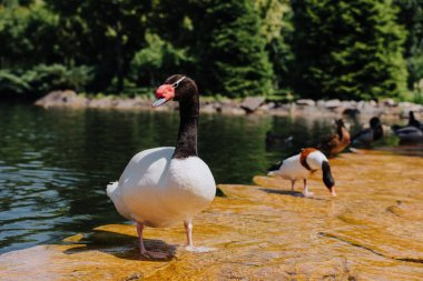 selective focus of swan and ducks on shallow water