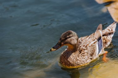 close up view of duckling swimming in pond