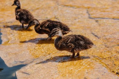 selective focus of three ducklings standing on shallow water