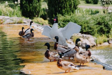 Selective focus of swan with straightened wings and flock of ducks on shallow water stock vector