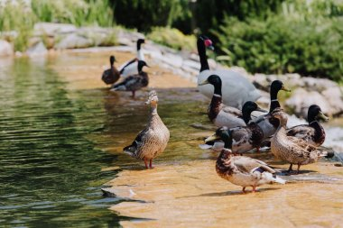 Selective focus of flock of ducks and swan on shallow water stock vector