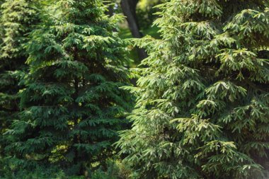 selective focus of pine trees in forest