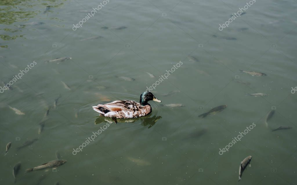 elevated view of duck and flock of fishes swimming in water