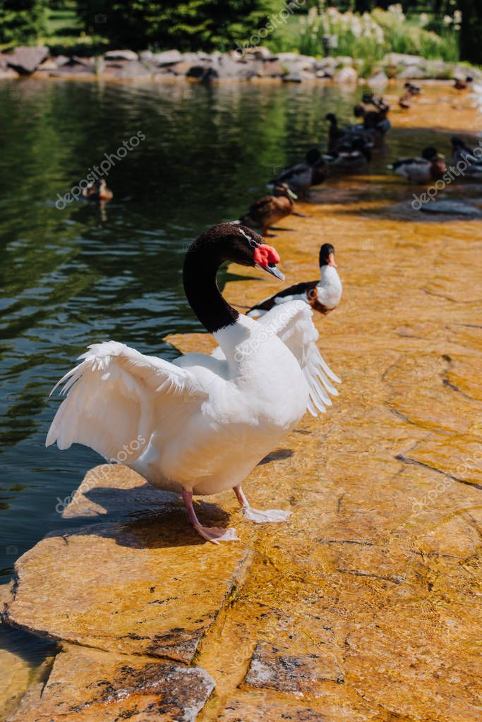 Selective focus of swan with straightened wings and ducks on shallow water stock vector
