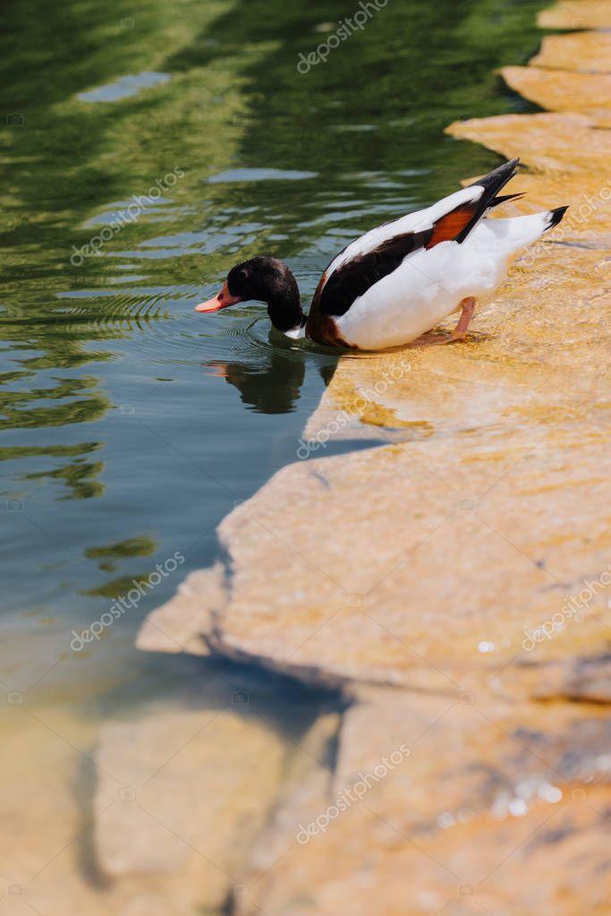 selective focus of duck submerging in water