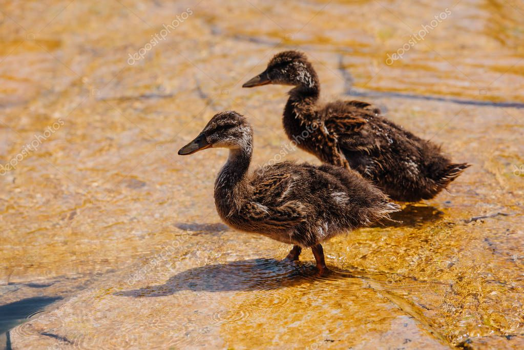 Selective focus of two ducklings walking on shallow water stock vector