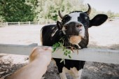 cropped image of man feeding cow by green leaves at farm