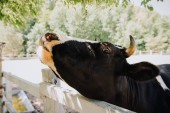 close up portrait of cow standing near wooden fence at farm