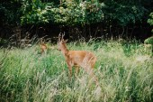 Fotografie rear view of deer walking in grass near forest