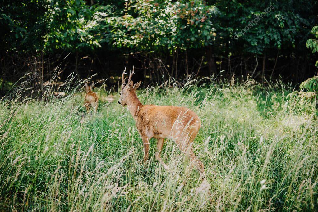 rear view of deer walking in grass near forest